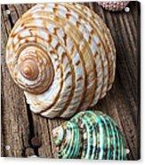 Sea Shells With Urchin  Acrylic Print