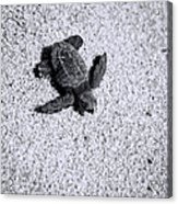 Sea Turtle In Black And White Acrylic Print