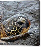 Sea Turtle Puako Tidepools Acrylic Print