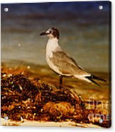 Seagull At The Keys Acrylic Print