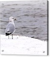 Seagull At The Lake In Winter Acrylic Print