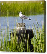 Seagull At Weeks Landing Acrylic Print by Bill Cannon
