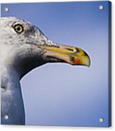Seagull - Cape Neddick - Maine Acrylic Print