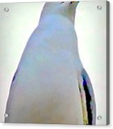 Seagull Close Up View Acrylic Print