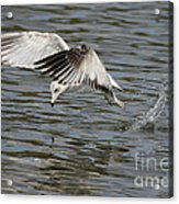 Seagull Dive Acrylic Print