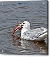 Seagull Eating Huge Fish In Water Art Prints Acrylic Print