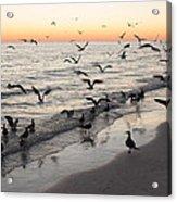 Seagulls Feasting Acrylic Print