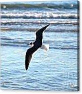 Seagull Flight Acrylic Print