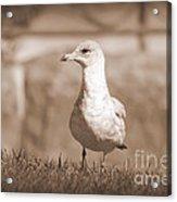 Seagull In Sephia Acrylic Print