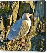 Seagull In Shadow Acrylic Print