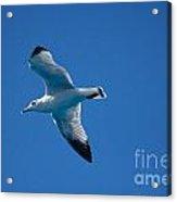 Seagull In The Blue Sky Acrylic Print
