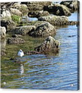 Seagull In The Water Acrylic Print