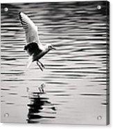 Seagull Landing On Lake Acrylic Print