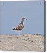 Seagull N Sand  Acrylic Print