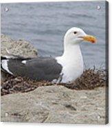 Seagull Nest Acrylic Print