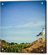 Seagull On The Rock Acrylic Print by Raimond Klavins