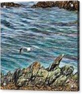 Seagull Over Rocks Acrylic Print