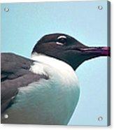 Seagull Portrait Acrylic Print