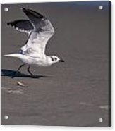 Seagull Preparing To Fly Acrylic Print