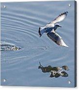 Seagull Reflection Acrylic Print