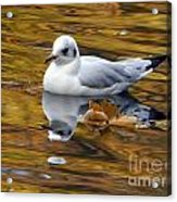 Seagull Resting Among Fall Leaves Acrylic Print