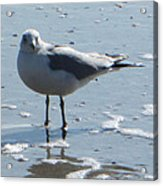 Seagull Acrylic Print by Silvie Kendall