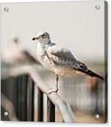 Seagull Standing On Rail Acrylic Print