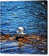 Seagull Wings Lifted Acrylic Print