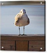 Seagull With An Attitude  Acrylic Print by Mike McGlothlen
