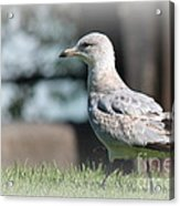 Seagulls 1 Acrylic Print