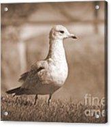 Seagulls 2 Acrylic Print