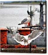 Seagulls Expression Acrylic Print