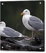 Seagulls Acrylic Print by Gary Langley