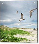 Seagulls In Flight At North Padre Acrylic Print