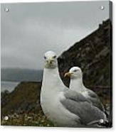 Seagulls In Ireland Acrylic Print