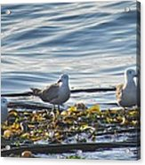 Seagulls In Victoria Bc Acrylic Print