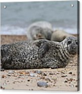 Seal Pup On Beach Acrylic Print