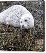 Seal Resting In Dunvegan Loch Acrylic Print
