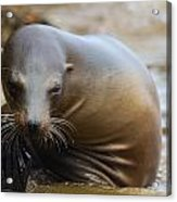 Sealion Mugs For The Camera Acrylic Print