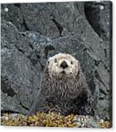 Seaotter - The Old Man Acrylic Print