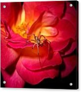 Searching For Miss Muffet Acrylic Print