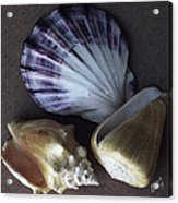 Seashells Spectacular No 30 Acrylic Print