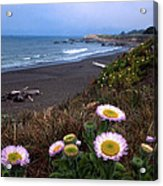 Seaside Daisies On Moonstone Beach Acrylic Print by Kathy Yates