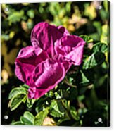Seasons Last Rose Acrylic Print