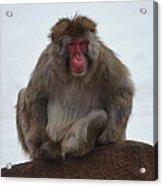 Seated Macaque Snow Monkey Acrylic Print