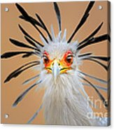 Secretary Bird Portrait Close-up Head Shot Acrylic Print by Johan Swanepoel
