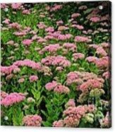 Sedum Garden Acrylic Print