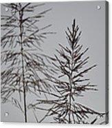 Seed Tops Acrylic Print