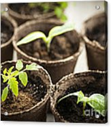 Seedlings  Acrylic Print by Elena Elisseeva