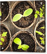 Seedlings Growing In Peat Moss Pots Acrylic Print
